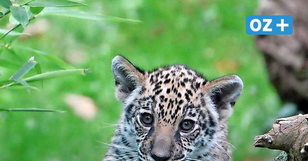 Tierischer Nachwuchs: Jaguarbaby im Rostocker Zoo sucht einen Namen