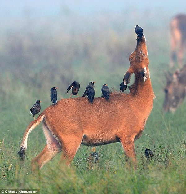 These little birds eat the fleas off antelopes. Everyone wins!
