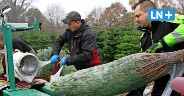 Woher kommen Segebergs Weihnachtsbäume?