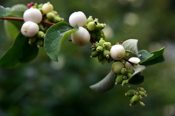 Passend zum Winter kommen die Früchte der Schneebeere in Weiß daher. Foto: Pixabay