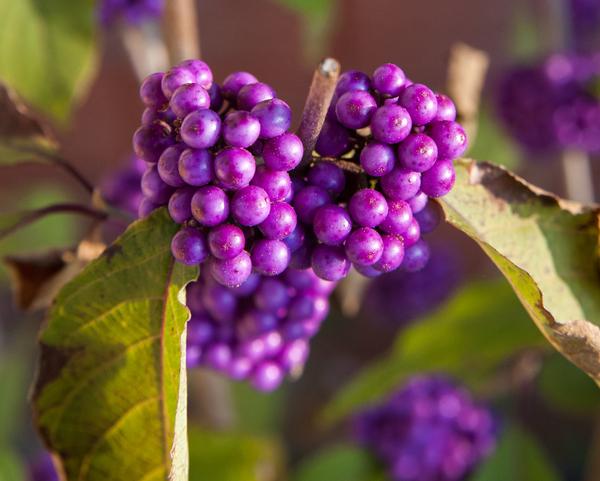 Knallig Lila: Der Liebesperlenstrauch bringt Farbe auch in der kalten Jahreszeit Farbe in den Garten. Foto: Andrea Warnecke/dpa
