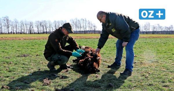Darum fordert ein Wustrower Landwirt endlich ein Wolfsmanagement