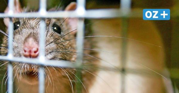 Bei Ratte angesteckt: Riemser Forscher weisen erstmals Seoul-Virus in Deutschland nach