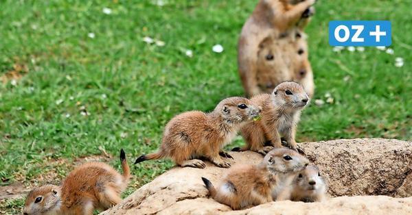 Wismarer Tierpark verschenkt 60 Präriehunde – darum mussten ihre Höhlen geflutet werden