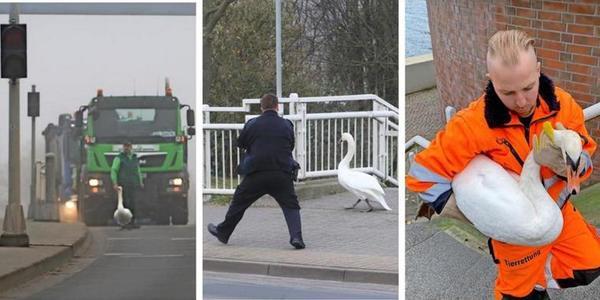 Heldenhafter Einsatz der Wolgaster Polizei: Schwan von Peenebrücke gerettet