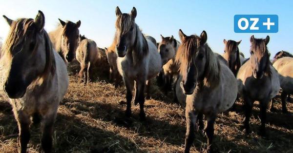 Touristenattraktion weg: Pferde auf der Insel Kaseburg verschwunden