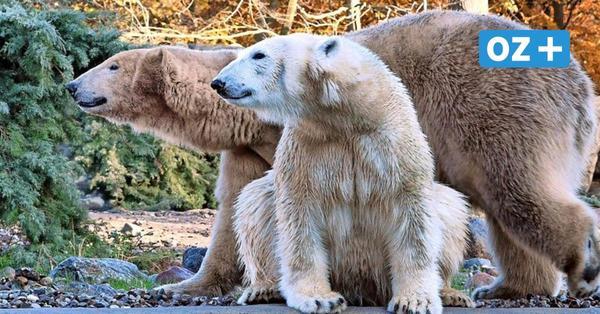 Nachwuchs-Boom im Rostocker Zoo: Kommt jetzt noch ein Eisbären-Baby?