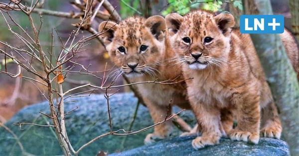 Grömitz: Zoo Arche Noah zeigt Löwenbabys nach Corona-Pause