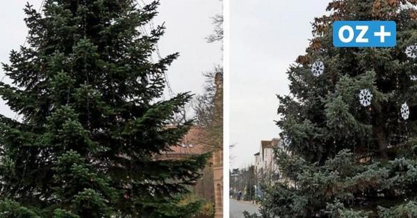 Weihnachtsbäume in Kühlungsborn und Bad Doberan: Woher die Riesentannen stammen
