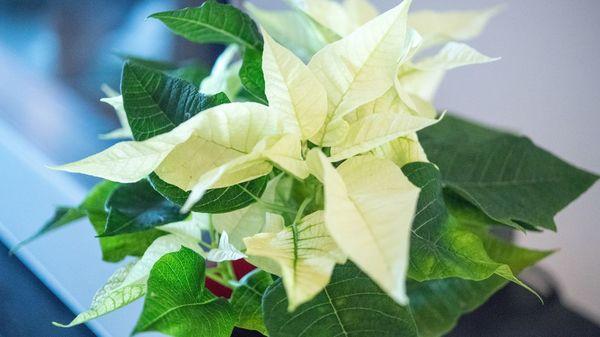 Weihnachtssterne: So bleiben die Pflanzen in der Adventszeit gesund