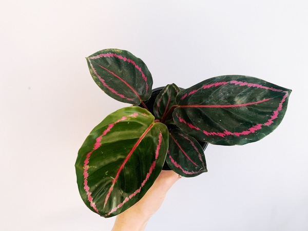 Yep, I got another calathea, I can't seem to stay away. The calathea dottie has these beautiful dark green leaves and hot pink coloring.