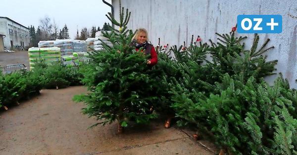 Tipps von Expertin aus MV: So finden Sie garantiert den perfekten Weihnachtsbaum fürs Fest