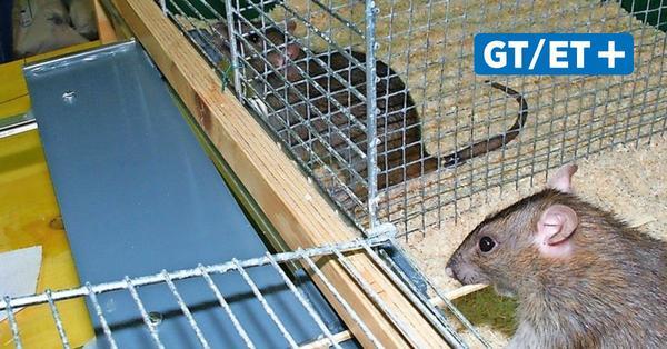 Forscher mit Göttinger Beteiligung zeigen: Ratten riechen Hilfsbereitschaft