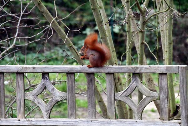 Mühsam ernährt sich das Eichhörnchen. (Foto: Uwe Driest)