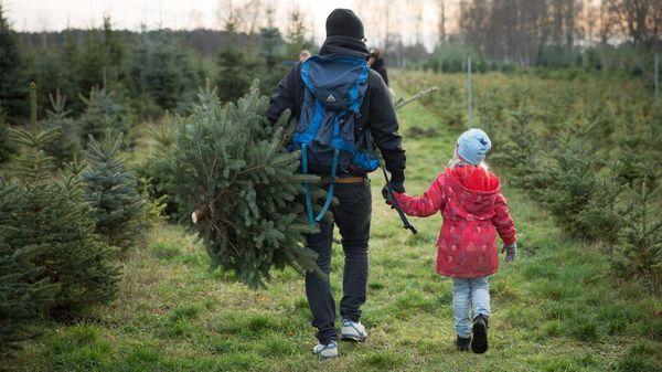 """Weihnachtsbaum: """"Nordmann"""" oder """"Edel"""" – welcher Tannenbaum eignet sich für mich?"""