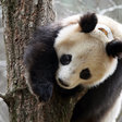 Why Are Pandas Covering Themselves With Horse Manure? - The New York Times