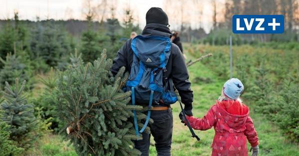 Tanne, Fichte und Co.: Hier kann man rund um Leipzig den Weihnachtsbaum selber schlagen