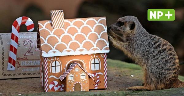 Weihnachten im Zoo Hannover: Tierische Bescherung für Eisbär, Elefant und Erdmännchen