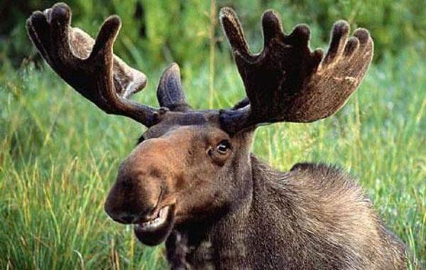 The plural of happy moose is happy moose.