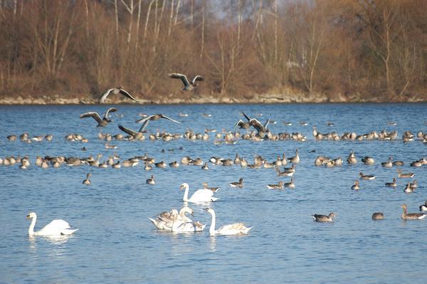 Der Große Koldinger See ist nach dem Steinhuder Meer das zweitwichtigste Vogelrastgebiet der Region. (Foto: Daniel Junker)