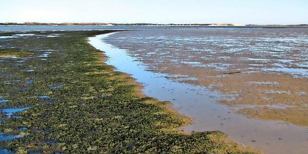 Forschung aus Göttingen: Schlauch-Alge breitet sich im norddeutschen Wattenmeer vor Sylt aus