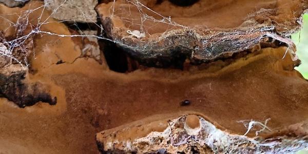 Wissenschaftler finden kleinsten Käfer Europas im Nationalpark Harz