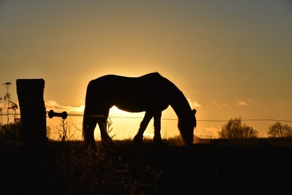 Grasendes Pferd (Foto: Jana Hobe)