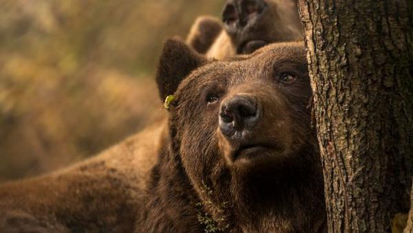 So kommen die Bären an der Müritz zur Winterruhe