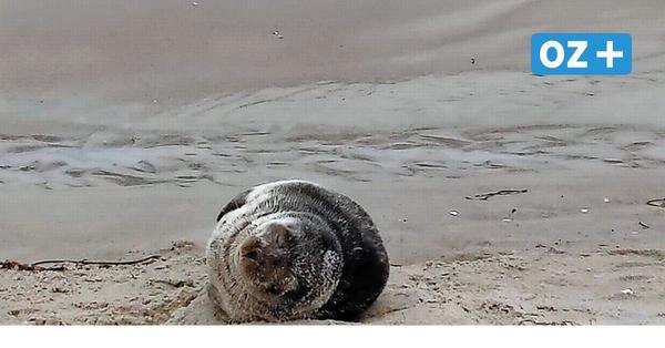 Spaziergängerin entdeckt Kegelrobbe am Strand von Zingst