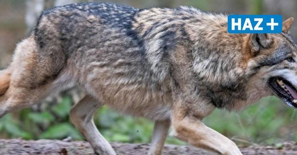 Wolfsverordnung in Niedersachsen: Nabu legt Beschwerde bei EU ein