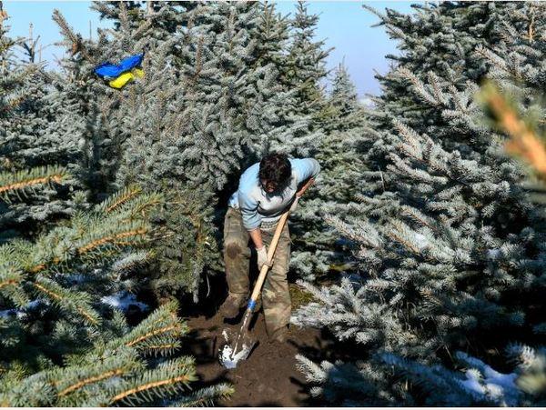 In den Baumschulen oder Gärtnereien werden die Bäume mehrmals umgepflanzt. Foto: dpa