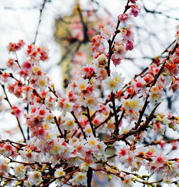Die Kirschen an der Havelbucht blühen. Foto: Bernd Gartenschläger