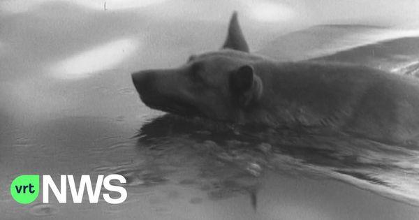 La tradition des chiens nageurs à Sint-Baafs-Vijve devient un accroche-regard au musée de Rotterdam - Hondenzwemming in Sint-Baafs-Vijve wordt blikvanger in Rotterdams museum