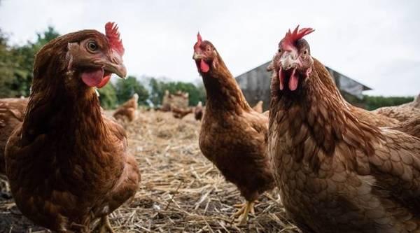 Grippe aviaire: Des foyers recensés en Belgique, près de la frontière avec la France - Vogelgriep: Uitbraken in België, vlakbij de grens met Frankrijk