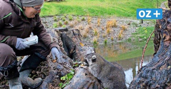 Neue Gehege fertig: Waschbären erobern Wassergrundstück am Steinbach