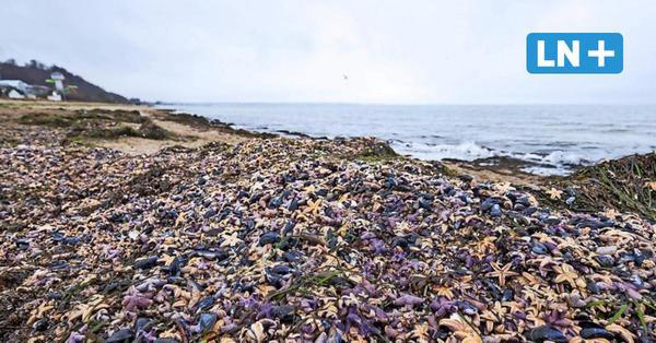 Timmendorfer Strand: Darum starben Tausende Seesterne an der Ostsee
