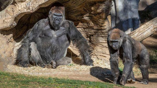 Corona bei Tieren: Offenbar erstmals Gorillas positiv auf Virus getestet