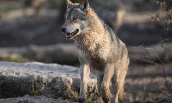 Toter Wolf wurde vermutlich angeschossen - Heidekreis - Walsroder Zeitung