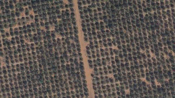 MBRSC develops AI model to count Al Ain's palm trees