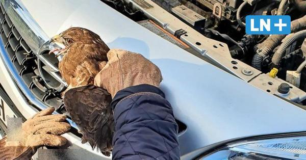 A 1 bei Ratekau: Mäusebussard kollidiert mit Auto und wird gerettet