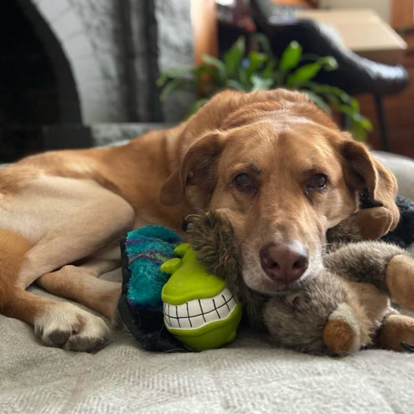 Sid, who belongs to VIP Abby, and who likes his toys, especially Squirrel, is on the mend.