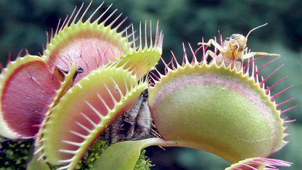 Faszination fleischfressende Pflanzen – so gelingt die Pflege