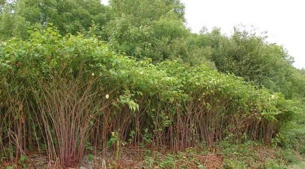 L'invasion des plantes exotiques s'intensifie et inquiète - Invasie van exotische planten is verontrustend