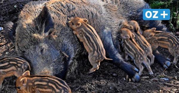 Achtung, Wildschweine: Stadt warnt erneut vor Bachen mit Frischlingen