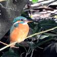 Deze vogel werd met de Nationale Tuinvogeltelling het meeste gespot