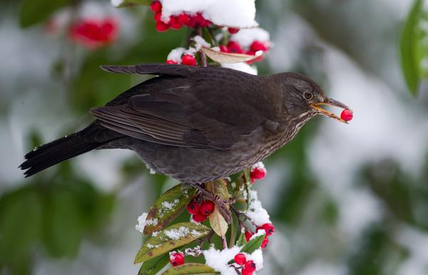 Beerensträucher im Garten sind eine gute Ergänzung für den Nahrungsplan der Vögel im Winter. Foto: Ronald Wittek/dpa