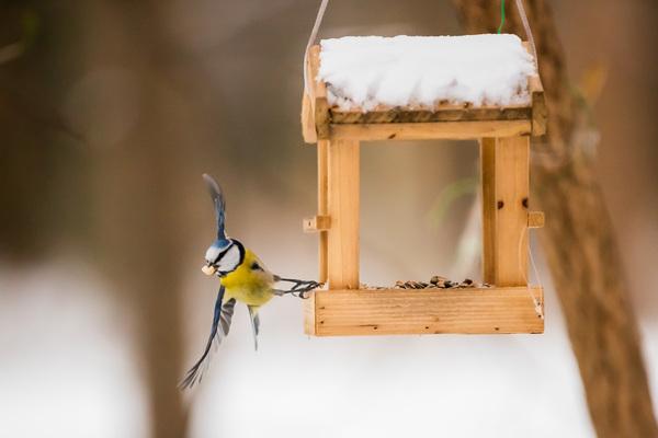 Eine Blaumeise holt sich an einem Vogelhäuschen Futter. Foto: Christoph Soeder/dpa