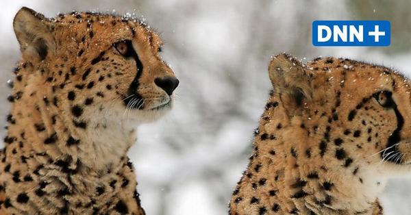 Winter im Zoo Dresden: Geparden und Löwen toben durch den Schnee