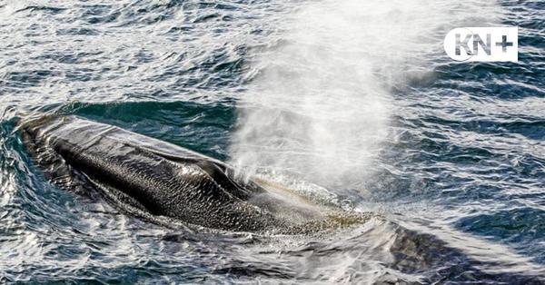 Großer Wal in der Eckernförder Bucht gesichtet