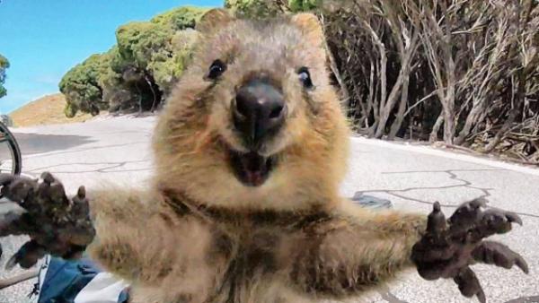 The world's happiest animal, a quokka!